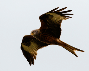 Red, Wales, and Kite: [OC] Red Kite circling Pen-Y-Fan (Wales, UK)