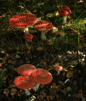 oceanvixen: various stages and sizes fly agaric by danimatie : oceanvixen: various stages and sizes fly agaric by danimatie