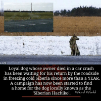 """Memes, Cold, and 🤖: OCEN  Loyal dog whose owner died in a car crash  has been waiting for his return by the roadside  in freezing cold Siberia since more than a YEAR.  A campaign has now been started to find  a home for the dog locally known as the  """"Siberian Hachiko  Weird World"""