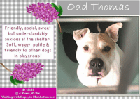 Andrew Bogut, Apparently, and Children: odd Thomas  Friendly, social, sweet  but understandably  anxious at the shelter.  Soft, waggy, polite &  friendly to other doqs  in playgroup!  ID 42132  @ 4 Years, 45 lbs  Waiting with Hope, in Manhattan acc **** TO BE KILLED - 9/26/2018 ****  He arrived at the shelter as a stray, no history, no sweet owner notes, nothing to help melt someone's heart so he could easily find a family.  The ACC slapped him with the name of a character in a series – a small town, short order cook with paranormal powers, but except for his power to win our hearts with his good looks and friendly ways, we don't see the connection.  ODD THOMAS is a good, sweet boy – a wiggly, waggy, warm, soft, social boy who is confused as to why he is at the shelter, and understandably anxious and a bit overwhelmed by all the sights and smells of shelter life.   He desperately needs to get out of that place and into his comfort zone – a calm, structured family home – where he can finally rest his weary head.  He's a doggy playgroup star at the shelter, a polite greeter, gentle and waggy, who treats every dog there very nicely and he wouldn't mind having a friend to play with in his new home.   If you are an experienced foster or adopter in an adult only home who can save this poor boy's life, please hurry to Private Message our page or email us at MustLoveDogsNYC@gmail.com for assistance filling out apps with New Hope Rescues.    ODD THOMAS, ID # 42132, @ 4 Yrs. 45.4 lbs. Manhattan ACC, Medium Mixed Breed, White, Unaltered Male I came to the shelter as an agency, 9/21/2018 Shelter Assessment Rating: New Hope Rescue Only Intake Behavior Rating:  1. Green    AT RISK NOTE:  Odd Thomas is at risk for behavior concerns and rapid behavioral deterioration in the care center. He shows a high level of anxiety and a low threshold for arousal in the care center, and is becoming increasingly difficult to handle. We recommend placement with a New Hope partner who can re-evalu