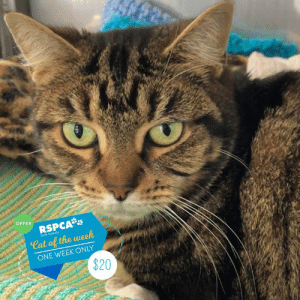 Love, Memes, and Animal: OFFER  RSPCA  Cat of the week  South Augtralia  ONE WEEK ONLY  $20 🎉✨ CAT OF THE WEEK OFFER 🎉✨  😻 Opal is $20 for one week 😻  We've picked an absolute gem of a cat this week and well…her name is Opal. She came into our shelter as a stray 62 days ago now, a real diamond in the rough 💎 At first she was very shy, but with a lot of time and TLC it was crystal clear just how loving and affectionate she is 😻  She's got a heart of gold and her big purrs show she absolutely loves pats and cheek scratches 💆 Opal is also a routine kinda gal - she loves to spend a lot of her time dedicated to catnaps and being cosy 🛏️ Of quartz we would love her to go to an amazing home that suits her quiet lifestyle. Would you be the lucky companion for Opal?   Animal ID: 144590 Location: 25 Meyer Road, Lonsdale Adoption fee: $20 for one week from this post (regularly $99), including desexing, mirochipping, vaccination and a vet check. www.rspcasa.org.au/adopt-a-pet/cat
