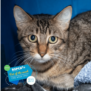 Comfortable, Confidence, and Definitely: OFFER  RSPCA  Cat of the week  South Australio  ONE WEEK ONLY  $20 🎉✨ CAT OF THE WEEK OFFER 🎉✨  😻 Rosalie is $20 for one week 😻 Rosalie arrived at our shelter in early February as a stray with her litter of little kittens 😿 All her babies have since found their fur-ever homes, but unfortunately, lovely Rosalie is a little shy… She was hiding in our adoption area and no one could see her. After being used to a life outside on the streets, we wanted her to become more comfortable inside and with people around 🏡 We moved her into our big cat pen at the shelter so she would be able to run in and outside (within the pen) but also say hello to people when she felt up to it.  Once she had settled in, she became very friendly with Ivory, her cat pen room-mate.   They now spend quite a bit of time together! 👭 Rosalie's confidence has grown tremendously with her new pal, she'll come running out with Ivory to greet you. She is still wary of strangers at first meeting but food will definitely help, she rushes over as soon as the food bowl is placed down.  She responds well to TLC, but just needs a quiet, loving home with patient owners who will take it slowly and give her time to settle into her new surroundings… then Rosalie can show you what a lovely cat she is.   Both Rosalie and Ivory would love to find a home together, but if they are separated they would be okay 😻  Animal ID: 141545 Location: 25 Meyer Road, Lonsdale Adoption fee: $20 for one week from this post (regularly $50), including desexing, mirochipping, vaccination and a vet check. www.rspcasa.org.au/adopt-a-pet/rosalie