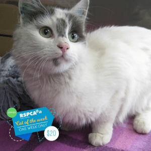 Chelsea, Children, and Life: OFFER  RSPCA  South Australio  Cat of the week  ONE WEEK ONLY  $20 🎉✨ CAT OF THE WEEK OFFER 🎉✨  😻 Chelsea is $20 for one week 😻  Chelsea is a sweet girl who enjoys the quiet life. Poor Chelsea has been with us for 70 days now, as she required dental work before going up to adoption 🦷 Now all of her little chompers are fixed she is ready for a fur-ever home! 😻  Chelsea was happy when she lived with two adults in a quiet household, but unfortunately, when they had a baby, the changes were too much for Chelsea and it was in her best interest to re-home her 😿  She has always been a shy, indoor cat and requires a quiet home with no other pets or small children - where things stay much the same, she likes routine.   She's all about the fishy business and absolutely loves fish type foods - so now you know the way to her heart what are you waiting for? Have we purrsueded you that Chelsea is the cat for you? She's waiting to meet you at our Lonsdale shelter!  Animal ID: 62767 Location: 25 Meyer Road, Lonsdale Adoption fee: $20 for one week from this post (regularly $99), including desexing, mirochipping, vaccination and a vet check. www.rspcasa.org.au/adopt-a-pet/chelsea