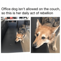 "Af, Another One, and Ass: Office dog isn't allowed on the couch,  so this is her daily act of rebellion So I grabbed coffee with my lil homegirl who I work with and she say she got a southwest companion pass. Litchrally with this shit u fly anywhere and take whoever u want anywhere any time. I'm like ""🤔...how. U mainly work for me and I don't fly u around the world like that for u to be racking up miles 😂."" Why did she launch into this whole shpiel about how she low key scamming TF out of southwest airline robbing them blind LEGALLY AF 😂. ""Well I opened up one southwest credit card and got 60,000 miles. Then I opened up another one with another bank and got 60,000 more. Also I do all my shopping thru the southwest rewards website so even if I buy shoes at Nordstrom I get points."" I'm like ""wow. For me though southwest been low key getting more expensive though(?)"" And she just like ""yeah I don't let them drop the price on me. If they do, I switch to the next day flight, then switch back. Like if I book at $400 and it drops to $300, I switch and switch back. Down to $250? Same. Until I'm satisfied I got the best price."" DID YALL HEAR THAT SHIT. ""UNTIL I'M SATISFIED."" She the MF queen bruh, southwest exists to shuttle her pretty ass around. And she gon scam them until their back is broken and they bankrupt and they on the news just like ""yeah we were having a nice run but this woman Kate ran us dry."" GO THE FUCK HEAD, KATE, U PRETTA-ASS, SCAMMIN-ASS GENIUS 😍. IDK why ladies but if u a scammer, it do something to us. It tingle our nether regions. It make us feel like if the whole world go to shit like walking dead u gon scam our chirren into health and safety. The scamming gene is like Punani fragrance - it make us a lil crazy for u 🤗. To all my scammers out there, y'all the real MVP. Scam me. Rob me. End my life. Just make sure them kids is good and imma be smiling in my grave bless up 😍😂😂😂 (📷: Reddit u-ebbp)"