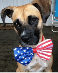 Office pup @throwmiabone_ is all dressed and ready, let the 4th of July festivities begin! 🎉 🇺🇸 🐶 MuttMonday celebrate 4thofjuly feelinggood rescuedog rescuedismyfavoritebreed: Office pup @throwmiabone_ is all dressed and ready, let the 4th of July festivities begin! 🎉 🇺🇸 🐶 MuttMonday celebrate 4thofjuly feelinggood rescuedog rescuedismyfavoritebreed