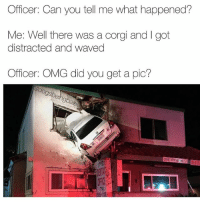 Corgi, Dogs, and Memes: Officer: Can you tell me what happened?  Me: Well there was a corgi and I got  distracted and waved  Officer: OMG did you get a pic? Waving at dogs at all costs since forever. @x__social_butterfly__x does anything for dog photos.