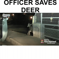 Deer, Memes, and Police: OFFICER SAVES  DEER  UN  D STA  SORT  AWESOME  Rapid Ci  POLICE Commun  ervice Integrity Follow me (@hangars) for more! 💕 - - @hangars @hangars @hangars @hangars @hangars @hangars @hangars @hangars @hangars