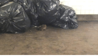 Fucking, New York, and Target: official-3rd-world:  zhidovka: witnessed these two rats fighting in the train station on my way home   new york fucking city babey!!!!