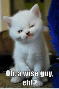 Memes, Wise Guy, and 🤖: Oh, a wise guy,  eh! For more cute pics LIKE us at The Purrfect Feline Page