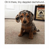I dare you not to say hi. @dogpartying: Oh hi there, tiny dappled dachshund I dare you not to say hi. @dogpartying