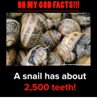Snailed: OH MY COD FACTS!!  OHMYGOD  FACTS!!!  Image Credit: www.thedailybeast.com  A snail has about  2,500 teeth.