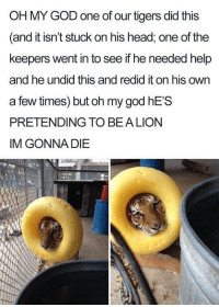 God, Head, and Oh My God: OH MY GOD one of our tigers did this  and it isn't stuck on his head, one of the  keepers went in to see if he needed help  and he undid this and redid it on his own  a few times) but oh my god hE'S  PRETENDING TO BEA LION  IM GONNA DIE <p>Improvise, Adapt, Wholesome</p>
