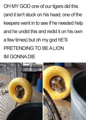 God, Head, and Oh My God: OH MY GOD one of our tigers did this  and it isn't stuck on his head, one of the  keepers went in to see if he needed help  and he undid this and redid it on his own  a few times) but oh my god hE'S  PRETENDING TO BEA LION  IM GONNA DIE Improvise, Adapt, Wholesome