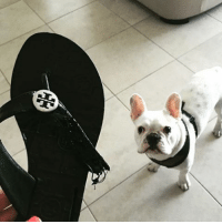 """Oh shoot. What happened to your shoe? Those are our... I mean YOUR favorites!"" ToryBarkch 📷: @fitz.thefrenchie dogsaretheworst: ""Oh shoot. What happened to your shoe? Those are our... I mean YOUR favorites!"" ToryBarkch 📷: @fitz.thefrenchie dogsaretheworst"