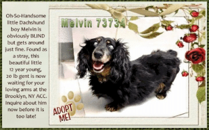 Animals, Beautiful, and Desperate: Oh-So-Handsome  Melvin 73734  little Dachshund  boy Melvin is  obviously BLIND  but gets around  just fine. Found as  a stray, this  beautiful little  12 year young,  20 lb gent is now  waiting for your  loving arms at the  Brooklyn, NY ACc.  Inquire about him  now before it is ADOPT  too late!  ME! **FOSTER or ADOPTER NEEDED ASAP** Oh-So-Handsome little Dachshund boy Melvin is obviously BLIND but gets around just fine. Found as a stray, this beautiful little 12 year young, 20 lb gent is now waiting for your loving arms at the Brooklyn, NY ACC. Inquire about him now before it is too late!  ✔Pledge✔Tag✔Share✔FOSTER✔ADOPT✔Save a life!  VIDEO: https://www.youtube.com/watch?v=blS-l23vjew  Melvin 73734 Small Mixed Breed Sex male Age 12 yrs (approx.) -20 lbs  My health has been checked.  My vaccinations are up to date. My worming is up to date.  I have been micro-chipped.   I am waiting for you at the Brooklyn, NY  ACC. Please, Please, Please, save me!  Found Location Troy Avenue & Albany Avenue BROOKLYN, 11213 Date Found 8/23/2019  **************************************** *** TO FOSTER OR ADOPT ***   If you would like to adopt a NYC ACC dog, and can get to the shelter in person to complete the adoption process, you can contact the shelter directly. We have provided the Brooklyn, Staten Island and Manhattan information below. Adoption hours at these facilities is Noon – 8:00 p.m. (6:30 on weekends)  If you CANNOT get to the shelter in person and you want to FOSTER OR ADOPT a NYC ACC Dog, you can PRIVATE MESSAGE our Must Love Dogs - Saving NYC Dogs page for assistance or email MustLoveDogsNYC@gmail.com.   PLEASE NOTE: You MUST live in NY, NJ, PA, CT, RI, DE, MD, MA, NH, VT, ME or Northern VA. You will need to fill out applications with a New Hope Rescue Partner to foster or adopt a NYC ACC dog. Transport is available if you live within the prescribed range of states.  Shelter contact information: Phone number (212) 788-4000 Email adopt@nycacc.org  Shelter Addresses: Brooklyn Shelter: 2336 Linden Boulevard Brooklyn, NY 11208 Manhattan Shelter: 326 East 110 St. New York, NY 10029 Staten Island Shelter: 3139 Veterans Road West Staten Island, NY 10309 **************************************  NOTE: WE HAVE NO OTHER INFORMATION THAN WHAT IS LISTED WITH THIS FLYER.  ************************************** RE: ACC site Just because a dog is not on the ACC site does NOT necessarily mean safe. There are many reasons for this like a hold or an eval has not been conducted yet or the dog is rescue-only... the list goes on... Please, do share & apply to foster/adopt these pups as well until their thread is updated with their most current status. TY! ****************************************** About Must Love Dogs - Saving NYC Dogs: We are a group of advocates (NOT a shelter NOR a rescue group) dedicated to finding loving homes for NYC dogs in desperate need. ALL the dogs on our site need Rescue, Fosters, or Adopters & that ASAP as they are in NYC high-kill shelters. If you cannot foster or adopt, please share them far & wide. Thank you for caring!! <3 ****************************************** RESCUES: * Indicates New Hope Rescue partner is accepting applications for fosters and/or adopters. http://www.nycacc.org/get-involved/new-hope/nhpartners ****************************************** https://www.nycacc.org/adopt/melvin-73734 ++++ http://nycaccpets.shelterbuddy.com/animal/animalDetails.asp?s=adoption&searchTypeId=4&animalType=3%2C16&datelostfoundmonth=8&datelostfoundday=24&datelostfoundyear=2019&tpage=9&find-submitbtn=Find+Animals&pagesize=16&task=view&searchType=4&animalid=104467 ++++ https://nycaccpets.shelterbuddy.com/animal/animalDetails.asp?s=found&searchTypeId=2&animalType=3%2C16&datelostfoundmonth=9&datelostfoundday=5&datelostfoundyear=2017&tpage=2&submitbtn=Find+Animals&pagesize=16&task=view&searchType=2&animalid=104467 ++++ Caro Hocker Carolin Hocker Beamer Maximillian Blind Dog Rescue Alliance Doxie Rescue Bucks Cty & NJ Furever Dachshund Rescue