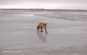 Shy fox gets food from a personomg-humor.tumblr.com: OHMAGIF.COM Shy fox gets food from a personomg-humor.tumblr.com