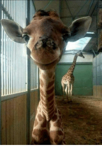 Okay. I was very irritated with the whole April the giraffe madness but I gotta tell ya this picture of her calf is adorable. An absolutely beautiful animal!  - Cadillac Jack: Okay. I was very irritated with the whole April the giraffe madness but I gotta tell ya this picture of her calf is adorable. An absolutely beautiful animal!  - Cadillac Jack