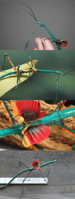 cool-critters:  Achrioptera fallax Achrioptera fallax is a stick insect species found in Madagascar. The males are a bright electric blue (with greenish tints) and have two rows of reddish orange spines along the edges of the femur. There are also dark coloured spines going along the sides and underneath the thorax. Males are brachypterous (incapable of flight) and have small reduced wings.Females have a duller outlook. They are a light brown with red spines covering the entire thorax and the top of the head. The male grows up to 13 cm in length while the female is much bigger and can grow up to 18, 5 cm in length. Their diet in the wild is unknown but in captivity they mainly feed on bramble, raspberry, eucalyptus, and oak. photo credits: thedancingrest, reptileforums: OL  6 8  680 cool-critters:  Achrioptera fallax Achrioptera fallax is a stick insect species found in Madagascar. The males are a bright electric blue (with greenish tints) and have two rows of reddish orange spines along the edges of the femur. There are also dark coloured spines going along the sides and underneath the thorax. Males are brachypterous (incapable of flight) and have small reduced wings.Females have a duller outlook. They are a light brown with red spines covering the entire thorax and the top of the head. The male grows up to 13 cm in length while the female is much bigger and can grow up to 18, 5 cm in length. Their diet in the wild is unknown but in captivity they mainly feed on bramble, raspberry, eucalyptus, and oak. photo credits: thedancingrest, reptileforums