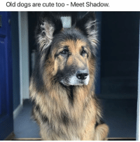 Cute, Dogs, and Funny: Old dogs are cute too Meet Shadow @dogsbeingbasic has the best dogs memes Source (@james__boulton)