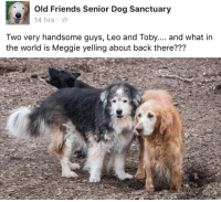 Old Friends Senior Dog Sanctuary: Old Friends Senior Dog Sanctuary  14 hrs  Two very handsome guys, Leo and Toby.... and what irn  the world is Meggie yelling about back there???