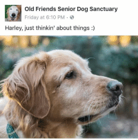 oldfriendsseniordogsanctuary ofsds seniordog harley: Old Friends Senior Dog Sanctuary  Friday at 6:10 PM  Harley, just thinkin' about things oldfriendsseniordogsanctuary ofsds seniordog harley