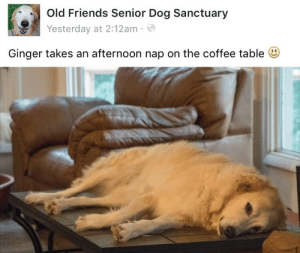 Old Friends Senior Dog Sanctuary: Old Friends Senior Dog Sanctuary  Yesterday at 2:12am .  Ginger takes an afternoon nap on the coffee table