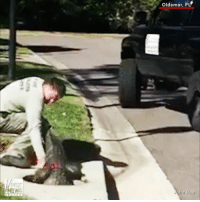 Crazy video shows a trapper in Florida pulling an alligator out of a storm drain.: Oldsmar, FL  hn Ruel Crazy video shows a trapper in Florida pulling an alligator out of a storm drain.