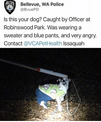 This dog reminds me of me: OLI  Bellevue, WA Police  @BvuePD  Is this your dog? Caught by Officer at  Robinswood Park. Was wearing a  sweater and blue pants, and very angry.  Contact @VCAPetHealth Issaquah This dog reminds me of me
