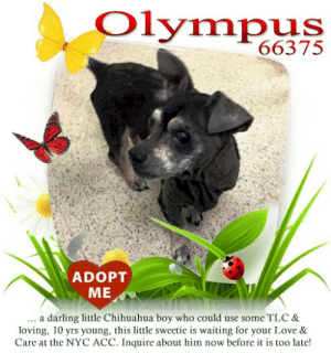 Animals, Chihuahua, and Desperate: Olympus  66375  ADOPT  ME  darling little Chihuahua boy who could use some TLC &  loving, 10 yrs young, this little sweetie is waiting for your Love &  Care at the NYC ACC. Inquire about him now before it is too late!  a **FOSTER or ADOPTER NEEDED ASAP** Olympus 66375 ... a darling little Chihuahua boy who could use some TLC & loving, 10 yrs young, this little sweetie is waiting for your Love & Care at the NYC ACC. Inquire about him now before it is too late!  ✔Pledge✔Tag✔Share✔FOSTER✔ADOPT✔Save a life!  Olympus 66375  Small Mixed Breed Sex male Age 10 yrs (approx.) - ? lbs  My health has been checked.  My vaccinations are up to date. My worming is up to date.  I have been micro-chipped.   I am waiting for you at the NYC  ACC. Please, Please, Please, save me!  Found Location Found in the stairwell between the second and third floor. 115th Street NEW YORK, 10029 Date Found 6/18/2019  **************************************** *** TO FOSTER OR ADOPT ***   If you would like to adopt a NYC ACC dog, and can get to the shelter in person to complete the adoption process, you can contact the shelter directly. We have provided the Brooklyn, Staten Island and Manhattan information below. Adoption hours at these facilities is Noon – 8:00 p.m. (6:30 on weekends)  If you CANNOT get to the shelter in person and you want to FOSTER OR ADOPT a NYC ACC Dog, you can PRIVATE MESSAGE our Must Love Dogs - Saving NYC Dogs page for assistance. PLEASE NOTE: You MUST live in NY, NJ, PA, CT, RI, DE, MD, MA, NH, VT, ME or Northern VA. You will need to fill out applications with a New Hope Rescue Partner to foster or adopt a NYC ACC dog. Transport is available if you live within the prescribed range of states.  Shelter contact information: Phone number (212) 788-4000 Email adopt@nycacc.org  Shelter Addresses: Brooklyn Shelter: 2336 Linden Boulevard Brooklyn, NY 11208 Manhattan Shelter: 326 East 110 St. New York, NY 10029 Staten Island Shelter: 3139 Veterans Road West Staten Island, NY 10309 **************************************  NOTE:  WE HAVE NO OTHER INFORMATION THAN WHAT IS LISTED WITH THIS FLYER.  ************************************** RE: ACC site Just because a dog is not on the ACC site does NOT necessarily mean safe. There are many reasons for this like a hold or an eval has not been conducted yet or the dog is rescue-only... the list goes on... Please, do share & apply to foster/adopt these pups as well until their thread is updated with their most current status. TY! ****************************************** About Must Love Dogs - Saving NYC Dogs: We are a group of advocates (NOT a shelter NOR a rescue group) dedicated to finding loving homes for NYC dogs in desperate need. ALL the dogs on our site need Rescue, Fosters, or Adopters & that ASAP as they are in NYC high-kill shelters. If you cannot foster or adopt, please share them far & wide. Thank you for caring!! <3 ****************************************** RESCUES: * Indicates New Hope Rescue partner is accepting applications for fosters and/or adopters. http://www.nycacc.org/get-involved/new-hope/nhpartners ****************************************** https://www.nycacc.org/adopt/olympus-66375  ++++ ++++ https://nycaccpets.shelterbuddy.com/animal/animalDetails.asp?s=found&searchTypeId=2&animalType=3%2C16&datelostfoundmonth=9&datelostfoundday=5&datelostfoundyear=2017&tpage=2&submitbtn=Find+Animals&pagesize=16&task=view&searchType=2&animalid=99826 ++++ Beamer Maximillian Carolin Hocker Caro Hocker Michele St Laurent  Vivian Chi-Saver