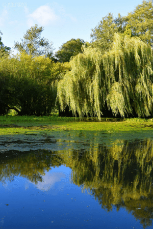 mellygregs: The Willow Pond. Hornsbury Mill, Chard, Somerset, UK. September 2019. Nikon D3300 : OMELLYGREGS mellygregs: The Willow Pond. Hornsbury Mill, Chard, Somerset, UK. September 2019. Nikon D3300