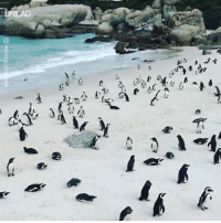 Africa, Dank, and Beach: OMEN DIS-I I need to visit this penguin beach in South Africa immediately 🐧🙌
