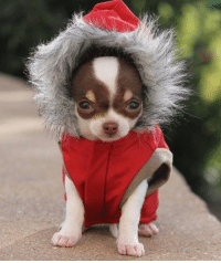 """OMG! Have you seen the BIG SALE on Chihuahua Clothes at http://store.famouschihuahua.com/__productype.asp?PT_ID=55&strProductID=Winter_Sale ""SHOP NOW!"" #chihuahuashop #chihuahuaclothes #chihuahuacoat #chihuahuasweater #chihuahuacollar #dogcollar #dogcoats #chihuahuafashion #dogsale #dogsweaters #chihuahuaapparel #dogapparel #dogfashion #tinydogs #tinydogclothes #famouschihuahua #chihuahuastore: ""OMG! Have you seen the BIG SALE on Chihuahua Clothes at http://store.famouschihuahua.com/__productype.asp?PT_ID=55&strProductID=Winter_Sale ""SHOP NOW!"" #chihuahuashop #chihuahuaclothes #chihuahuacoat #chihuahuasweater #chihuahuacollar #dogcollar #dogcoats #chihuahuafashion #dogsale #dogsweaters #chihuahuaapparel #dogapparel #dogfashion #tinydogs #tinydogclothes #famouschihuahua #chihuahuastore"