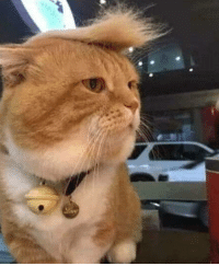 Cats, Head, and Omg: omg-humor:I brushed my cats head and now it looks like it wants to build a wall