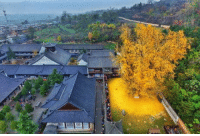 Fall, Omg, and Tumblr: omg-humor:  This 1400 year gingko tree in China sheds golden leaves during fall