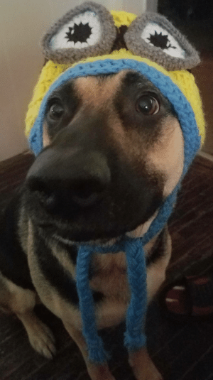 omg-images:  My doggo Ripley. She is training to be a Minion.: omg-images:  My doggo Ripley. She is training to be a Minion.