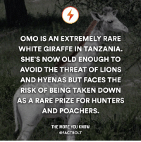 cnn.com, Memes, and The More You Know: OMO IS AN EXTREMELY RARE  WHITE GIRAFFE IN TANZANIA  SHE'S NOW OLD ENOUGH TO  AVOID THE THREAT OF LIONS  AND HYENAS BUT FACES THE  RISK OF BEING TAKEN DOWN  AS A RARE PRIZE FOR HUNTERS  AND POACHERS.  THE MORE YOU KNOW  @FACT BOLT :( 1 liek = 1prayz for dis giraff . — Source: http:-www.cnn.com-2016-01-27-africa-white-giraffe-omo-leucistic-