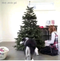 9gag, Christmas, and Memes: Omy aussie gal Good boy helps decorate the Christmas tree 🎄 📹 @my_aussie_gal - - 9gag christmas