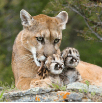 Mountain lion with cubs <3: on Mountain lion with cubs <3