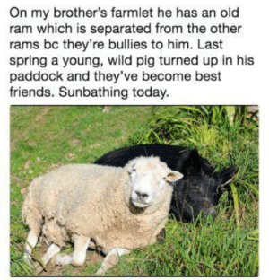 Friends, Best, and Rams: On my brother's farmlet he has an old  ram which is separated from the other  rams bc they're bullies to him. Last  spring a young, wild pig turned up in his  paddock and they've become best  friends. Sunbathing today. Their names are Pig and McDuff