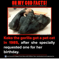 Petting Cat: ON MY GOD FACTS!  www.omg facts online.com  I fb.com  facts on  line a ohm god facts  Tumblr  mage Source  Koko the gorilla got a pet cat  in 1985, after she specially  requested one for her  birthday.  Join Facebook's Biggest Facts Library with 6 Million+ Fans- www.facebook.com/omgfactsonline