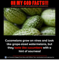 Facebook, Facts, and God: ON MY GOD FACTS!!!  www.omg facts online.com I fb.com/omg facts online I Goh my god-facts  ONMYCOD  FACTS!II  Image Credit: www.flickricom photos infobunny  Cucamelons grow on vines and look  like grape-sized watermelons, but  they taste like cucumbers with a  hint of sourness!  Join Facebook's Biggest Facts Library with 6 Million+ Fans- www.facebook.com/omgfactsonline