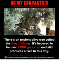 Facebook, Facts, and God: ON MY GOD FACTS!!!  www.omg facts online.com I fb.com/omg facts online I Goh my god-facts  Image Cred  wwww.mnn.com  There's an ancient olive tree called  the  tree of Ouves. It's believed to  be over 2,000 years old and still  produces olives to this day.  Join Facebook's Biggest Facts Library with 6 Million+ Fans- www.facebook.com/omgfactsonline
