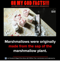 Facebook, Facts, and God: ON MY GOD FACTS!!!  www.omg facts online.com I fb.com/omg facts online I Goh my god-facts  OH MY GOD  FACTS!!  MAage Credit-WWARMEhindubus  Marshmallows were originally  made from the sap of the  marshmallow plant.  Join Facebook's Biggest Facts Library with 6 Million+ Fans- www.facebook.com/omgfactsonline