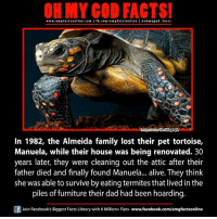 Alive, Dad, and Facebook: ON MY GOD FACTS!  www.omgfacts online.com I fb.com/om g facts online I eohmygod-facts  komage  ThOTelegraph  In 1982, the Almeida family lost their pet tortoise,  Manuela, while their house was being renovated. 30  years later, they were cleaning out the attic after their  father died and finally found Manuela... alive. They think  she was able to survive by eating termites that lived in the  piles of furniture their dad had been hoarding.  Join Facebook's Biggest Facts Library with 6 Million+ Fans- www.facebook.com/omgfactsonline