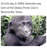 Memes, Texas, and Harambe: On this day in 1999, Harambe was  born at the Gladys Porter Zoo in  Bro .  wnsville, Texas R.I.P 😔