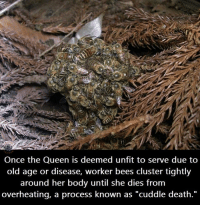"Bodies , Memes, and Queen: Once the Queen is deemed unfit to serve due to  old age or disease, worker bees cluster tightly  around her body until she dies from  overheating, a process known as ""cuddle death."""