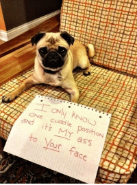 Memes, 🤖, and Pug: ONE cuddle and KNOW  its MY  DositiON  to aSS  Nour tace. Anyone who's experienced pug cuddles, has experienced this lovely occurrence.
