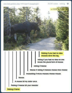 This moose is an absolute unit: one last golden slay reblogged mupalegit  39,797 notes reblog  Reblog if you had no idea  mooses were this big.  reblog if you had no ioea no one  knows the plural form of moose  reblog if meese  Meese reblog if meeses moose mice moose  mooseblog if mices mooses meese mouse.  Moose.  A moose bit my sister once.  Reblog if meese bit your meester  Reblog i lama This moose is an absolute unit
