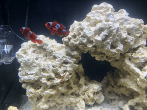 Fish, Heart, and Clown: One of my clown fish has a heart pattern on its side