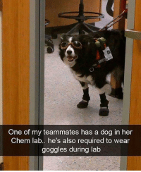 Her, Chem, and Dog: One of my teammates has a dog in her  Chem lab.. he's also required to wear  goggles during lab Safety is number 1 priority